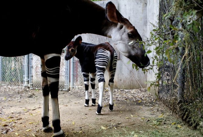 """Almasi, whose name means """"diamond"""" in Swahili, peeked out from beneath her mom Desi's watchful gaze at their enclosure at the Dallas Zoo. The okapis are among six at the zoo. Almasi will join the Wilds of Africa habitat today."""