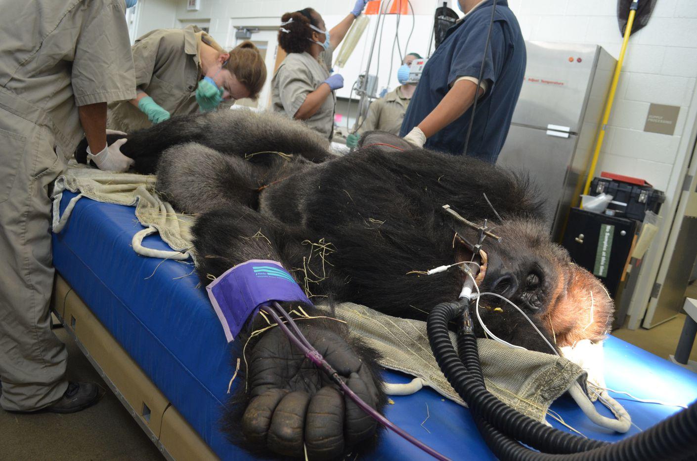 Associate veterinarian Dr. Maren Connolly places an IV catheter in Subira's leg vein while veterinary technician Cassandra Reid hangs a bag of IV fluids.
