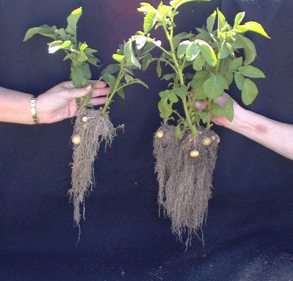 Root grow difference between healthy soil on right and not healthy soil on left.