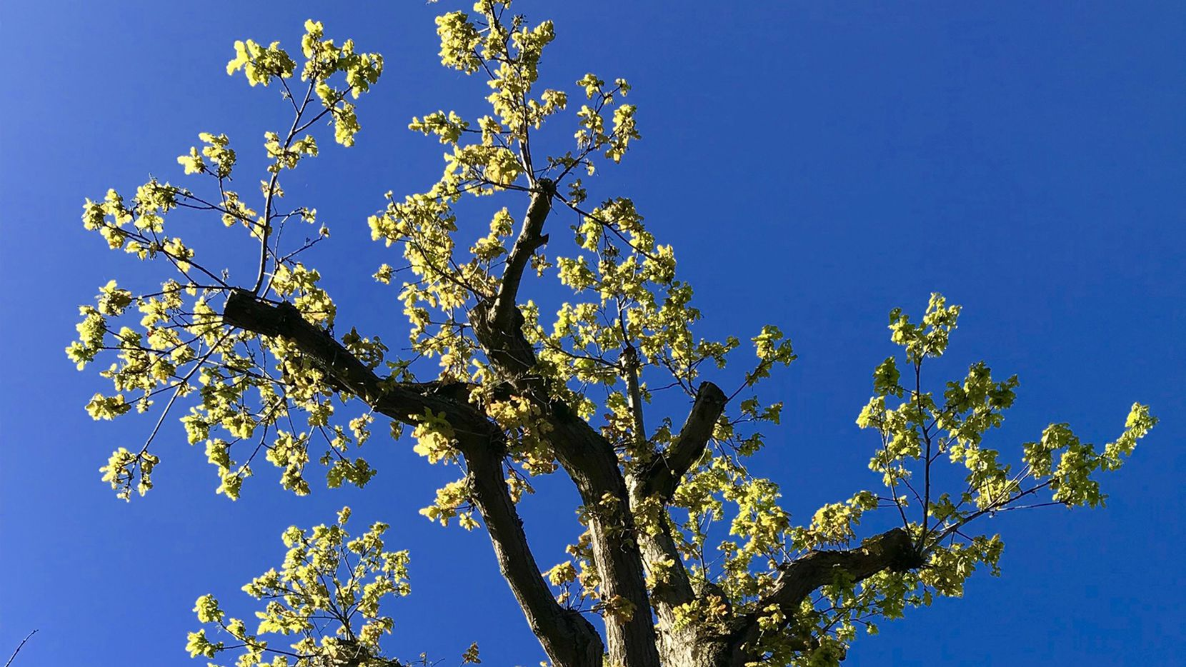 If necessary, trees can be reduced in height through proper pruning methods that cut lateral branches back to the parent limb.