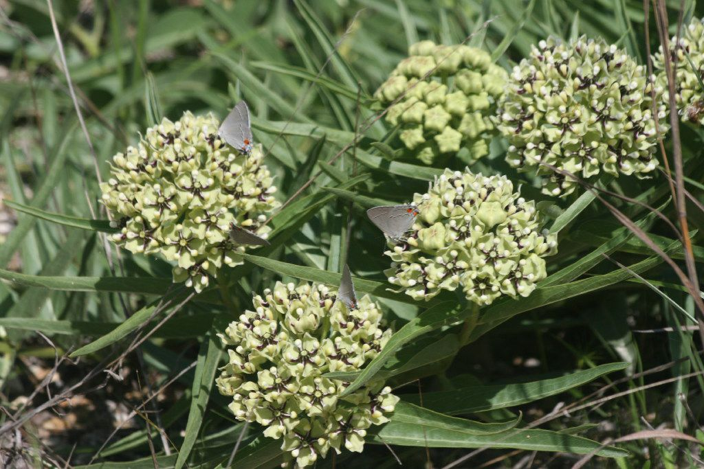 Asclepias asperula, called antelope horn milkweed, is a native plant.