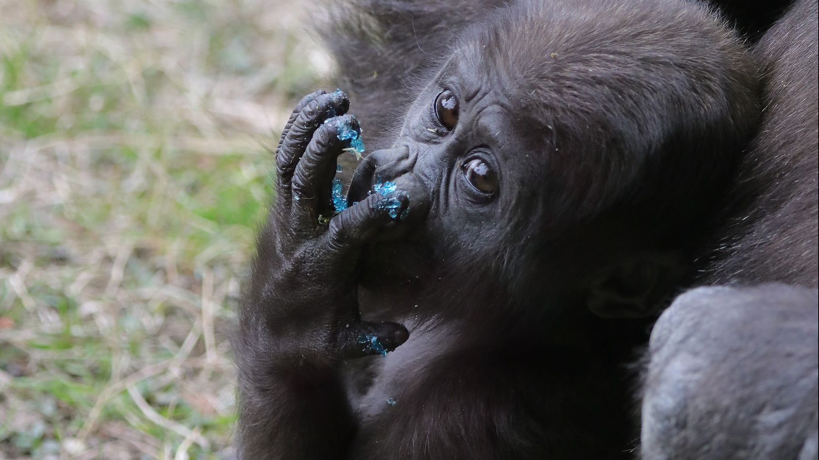 The Dallas Zoo's 7-month-old baby gorilla Saambili on Thursday, Jan. 31, 2019. The gorilla troop attempted to pick a Super Bowl winner by choosing between themed treats.