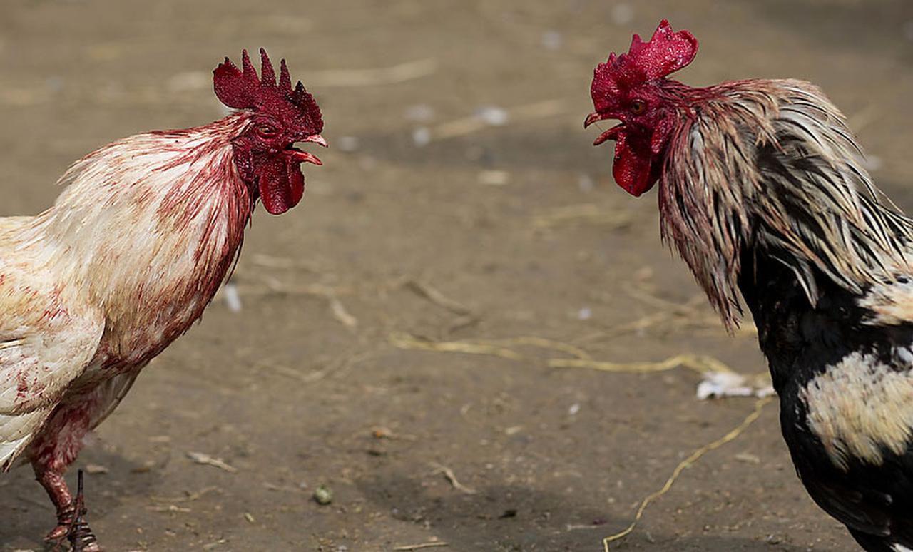 En Texas las peleas de gallos van desde un delito menor clase C hasta un delito mayor que requiere tiempo en una prisión estatal. (AP/ARCHIVO)