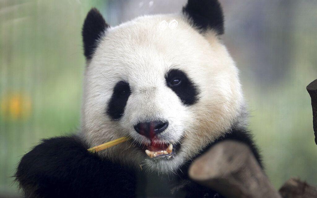 Fotografía tomada a través de una ventana de la panda Meng Meng mientras come un bambú en su recinto en el zoológico de Berlín, Alemania, el viernes 5 de abril de 2019. (AP Foto/Michael Sohn)
