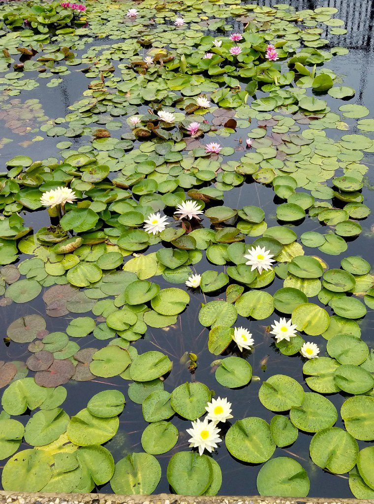 A rotating selection of water lily varieties from all over the world at the International Water Lily Garden reflects just half of one person of Ken Langdon's collection. You don't expect to find it in San Angelo, but that's where it is.