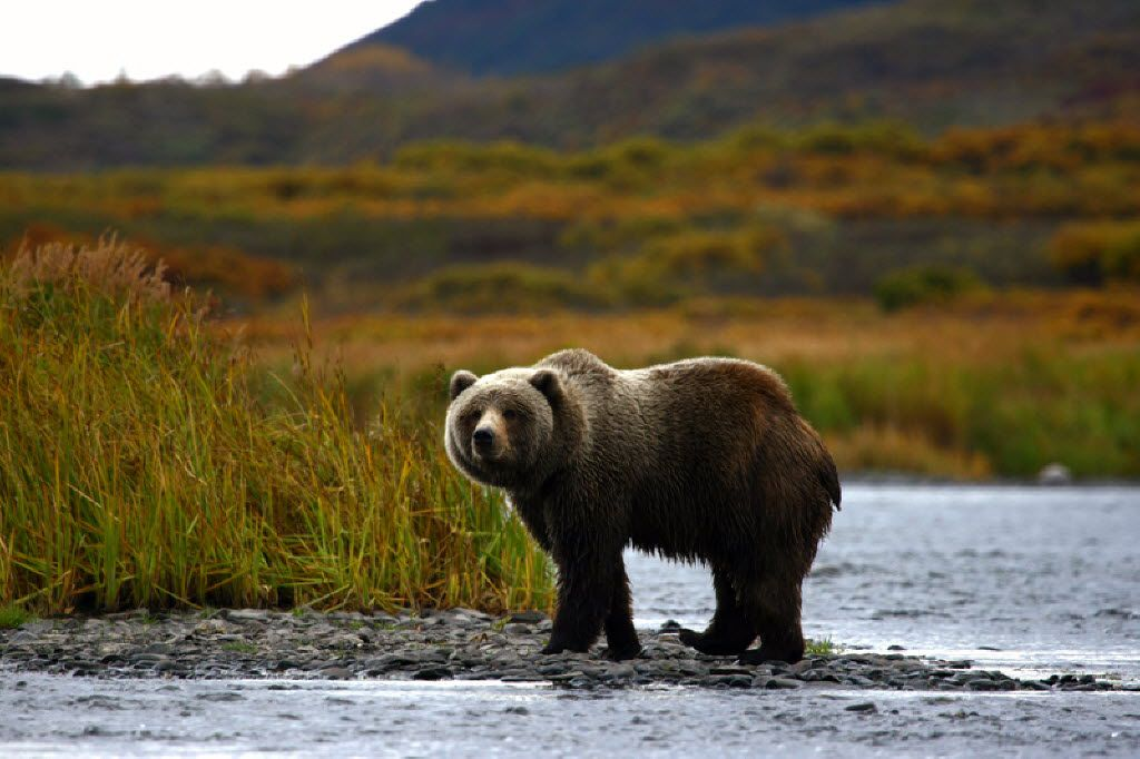 A Kodiak Brown Bear stands alone in the Alaskan wilderness.