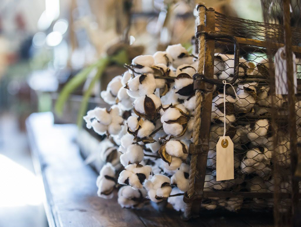 Bolls of cotton and other items on display inside a new location of Magnolia Market at the Silos, owned by Chip and Joanna Gaines, hosts of HGTVÕs Fixer Upper, on Thursday, October 29, 2015 at Magnolia Market at the Silos in Waco, Texas.   (Ashley Landis/The Dallas Morning News)  -- MANDATORY CREDIT, TV OUT, MAGS OUT, NO SALES, INTERNET USE BY AP MEMBERS ONLY