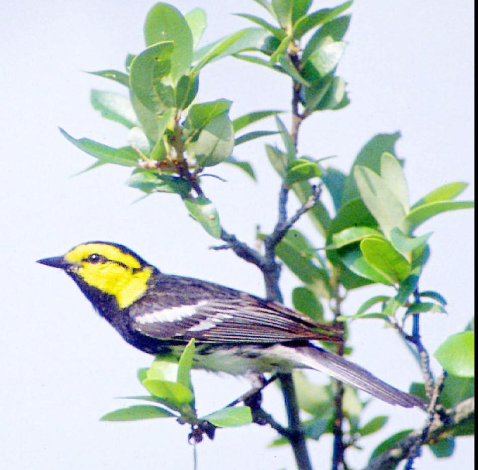 A golden-cheeked warbler rests on a branch in the hill country west of Austin.