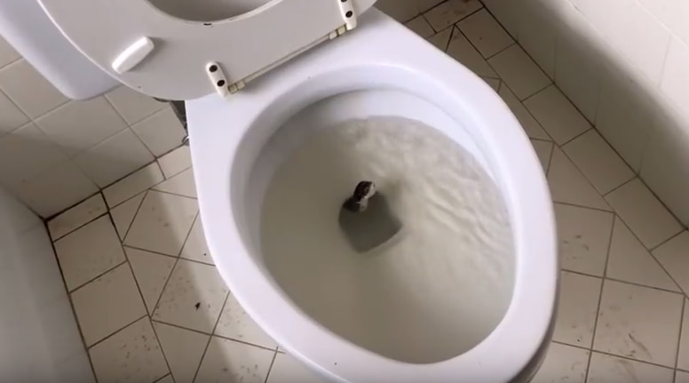 In a still image from Tedrick's YouTube video, the snake begins to slither from the toilet.