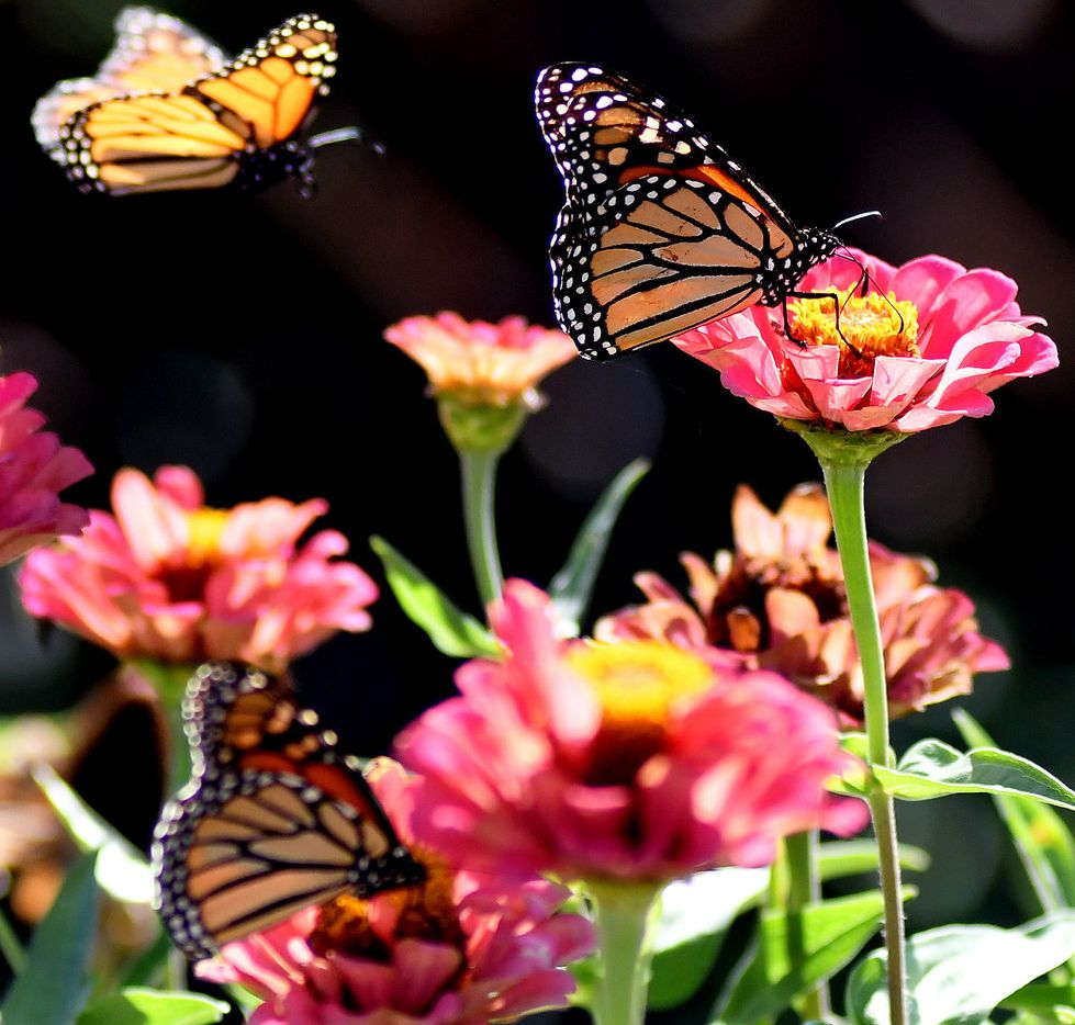 Three monarch butterflies pollinate flowers near the entrance to Leonardo's Children's Museum and Adventure Quest in Enid, Okla., on Oct. 5, 2018.