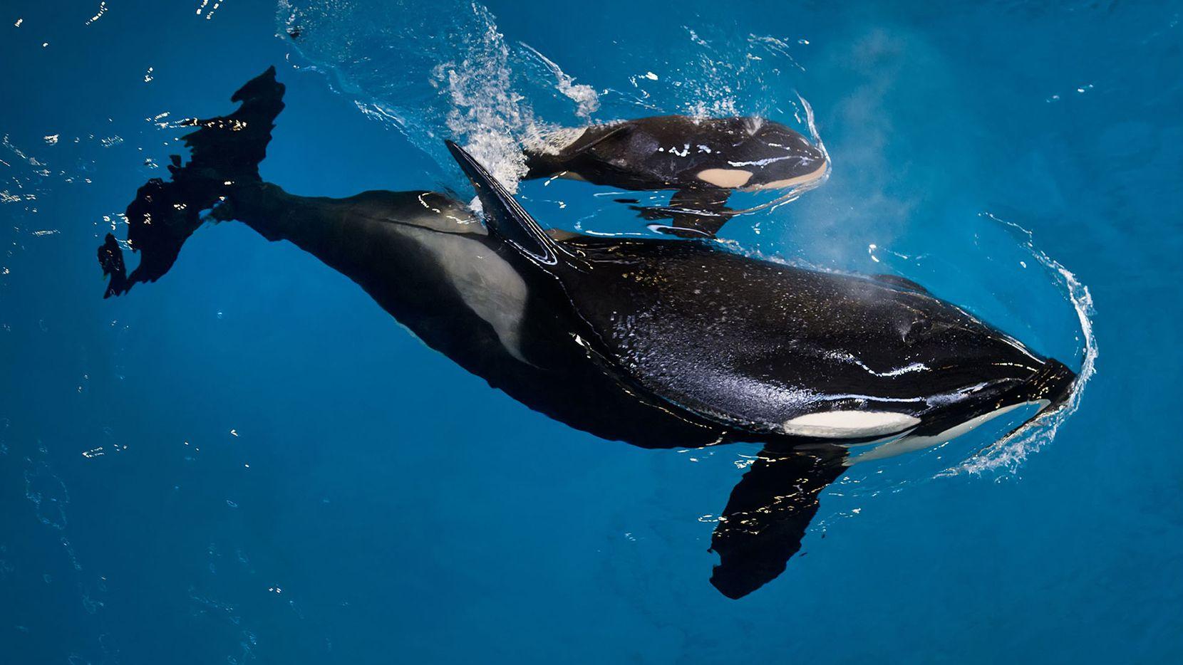 Imagen de archivo del nacimiento de la orca Kyara en abril del 2017. SEAWORLD.