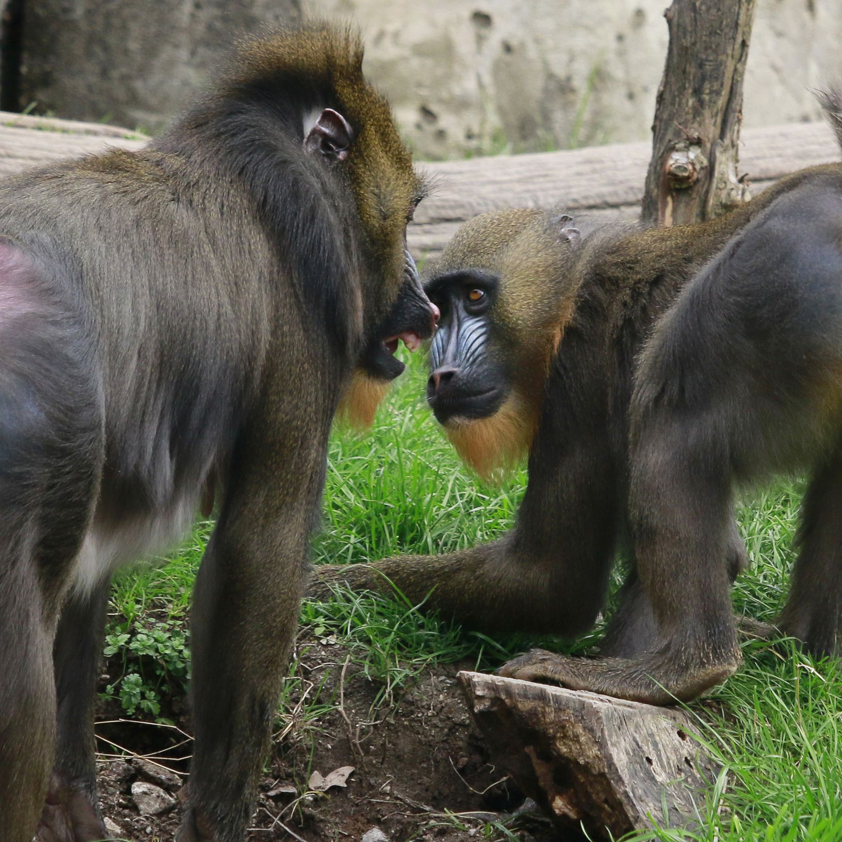 Obi and mother Saffron at the Dallas Zoo. When he was born in 2014, Obi was the first baby mandrill at the zoo in 24 years.