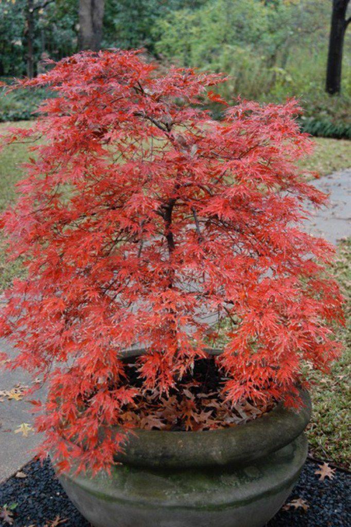 Orangeola Japanese maple tree (Acer palmatum 'Orangeola')