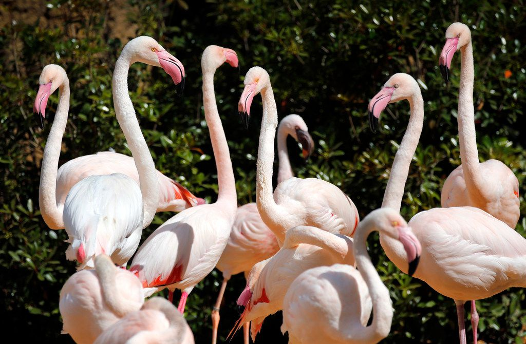 Greater flamingos raise their heads and gaze about as they get used to their new exotic bird aviary.