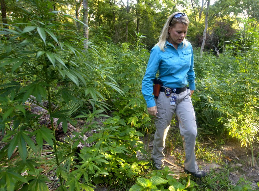 Conroe Police Department Public Information Officer Dorcy Riddle stands amongst 10 to 20,000 marijuana plants waiting to be cut down by authorities Wednesday, Aug. 21, 2013, in Conroe, Texas.  (AP Photo/ Houston Chronicle, Cody Duty)