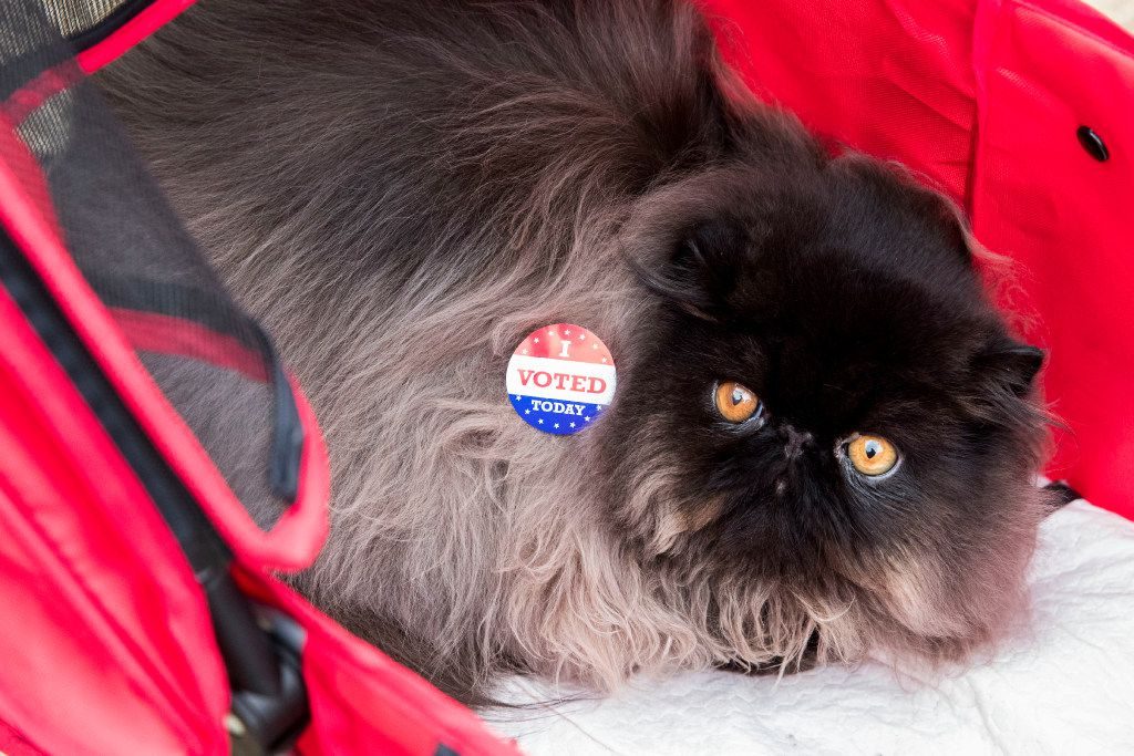 """James Bond, a 8 month old Black Solid Persian, wears a """"I Voted"""" sticker put on by his owner Nadja Bem of Dallas, outside of the polling station at Reverchon Park on Nov. 8 2016 in Dallas."""