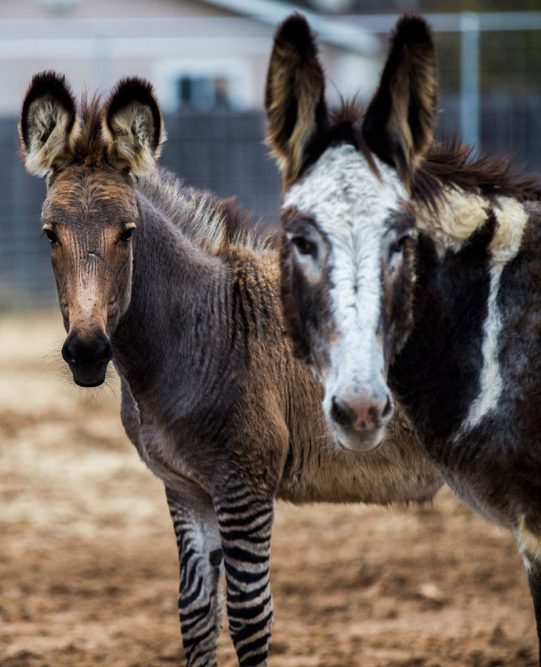 A zonkey - bred from a zebra and a donkey - and a donkey outside a new Fuel City location on Friday, December 16, 2016 on Haltom Road in Haltom City. (Ashley Landis/The Dallas Morning News)