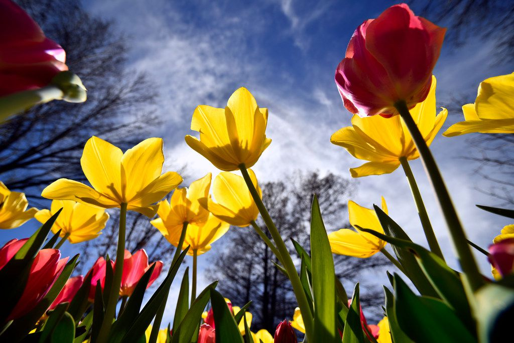 Tulips during this year's Dallas Blooms, Monday, March 05, 2018 at the Dallas Arboretum. Ben Torres/Special Contributor