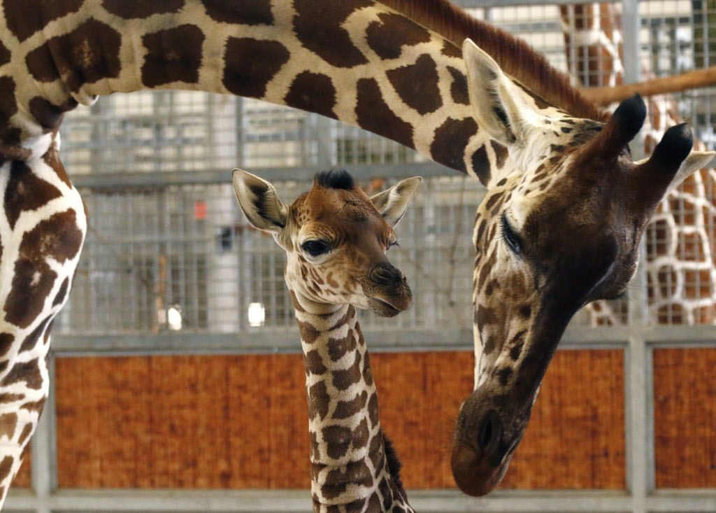 """In this April 14, 2015 file photo provided by the Dallas Zoo, a calf and its mother stand in the maternity stall at the zoo, in Dallas. The calf was born Friday, April 10, weighing 139 pounds and standing 5 feet, 10 inches tall.  On Friday, April 24, 2015, the officials announce that the name Kipenzi (kih-PEHN-zee) has been chosen after more than 50,000 votes were cast after zookeepers offered up three choices. It means """"loved one"""" in Swahili."""