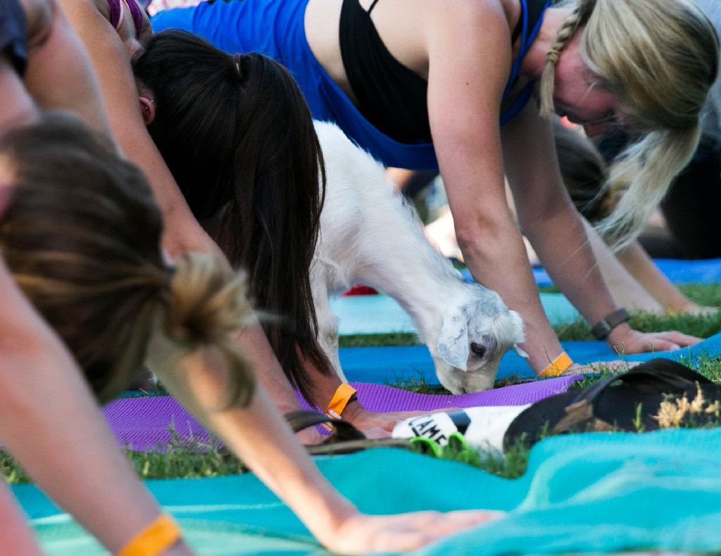 Humans and goats alike attended the first goat yoga class in Dallas on June 16, 2017.