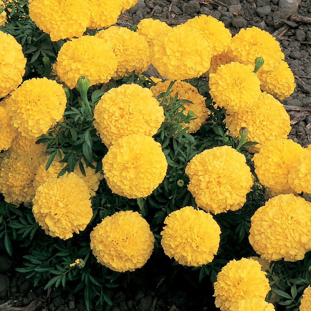 African Marigold 'Inca II Yellow' (Tagetes erecta)
