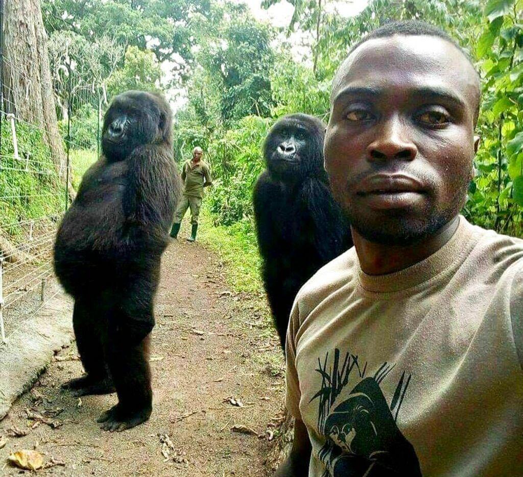 En esta imagen del jueves, 18 de abril del 2019, Mathieu Shamavu, guardabosques y cuidador en el Centro Senkwekwe para Gorilas de Montaña Huérfanos, posa para una foto con las gorilas huérfanas Ndakazi y Ndeze en el centro, ubicado en el Parque Nacional Virunga, en el este de Congo. (Mathieu Shamavu/Parque Nacional Virunga vía AP).