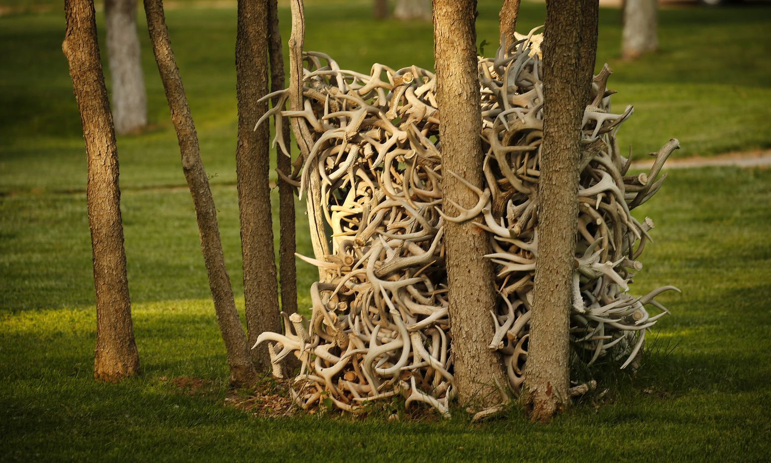 A stack of deer antlers near the lodge.