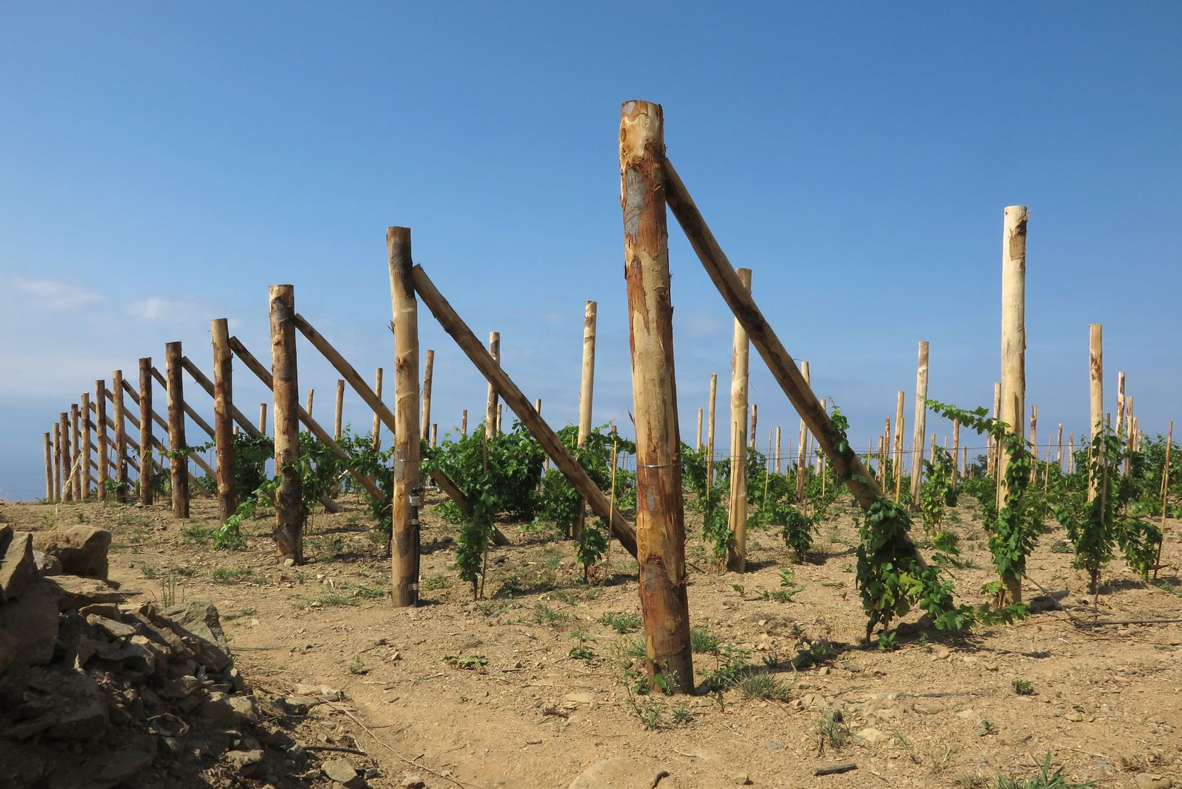 Young vines high up in the Cinque Terre hills give hope that this Italian region's winemaking tradition will continue.