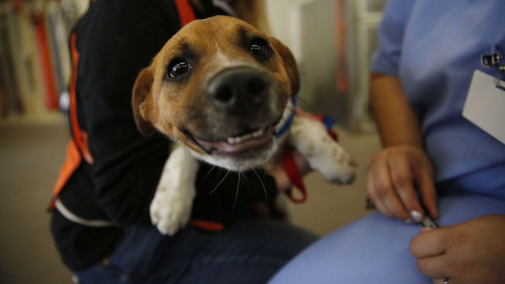 Este perrito pone su mejor cara para ver si lo adoptan. Este miércoles 24 será gratis adoptar mascotas en los refugios de Dallas. DMN