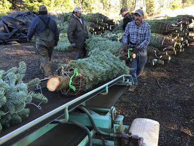 En esta fotografía del 5 de diciembre de 2019, unos trabajadores, la mayoría provenientes de México, cargan árboles de Navidad a un camión en Hupp Farms, en Silverton, Oregon.