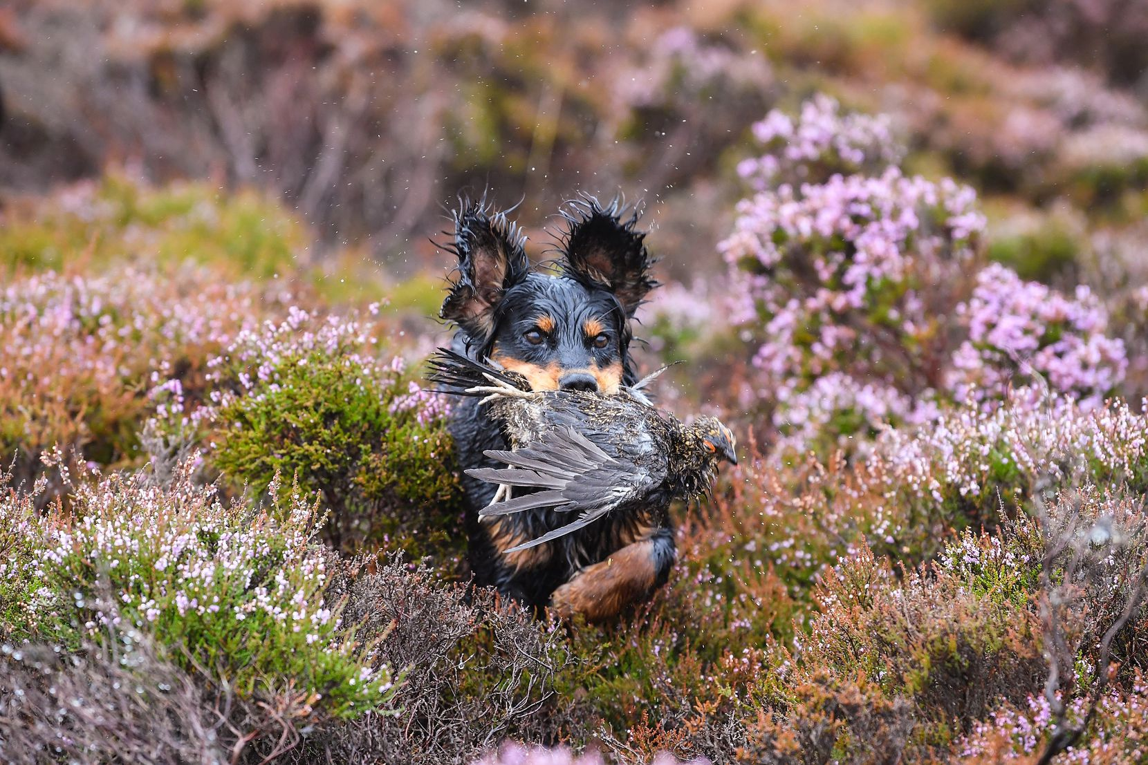Brig the dog retrieves a grouse shot on first day of the grouse shooting season on Forneth Moor on Monday, Aug. 13, in Dunkeld, Scotland. Gamekeepers are expecting a poor grouse shooting season this year, due to the heavy snowfall in March followed by a warm dry summer that has affected the number of birds breeding successfully.