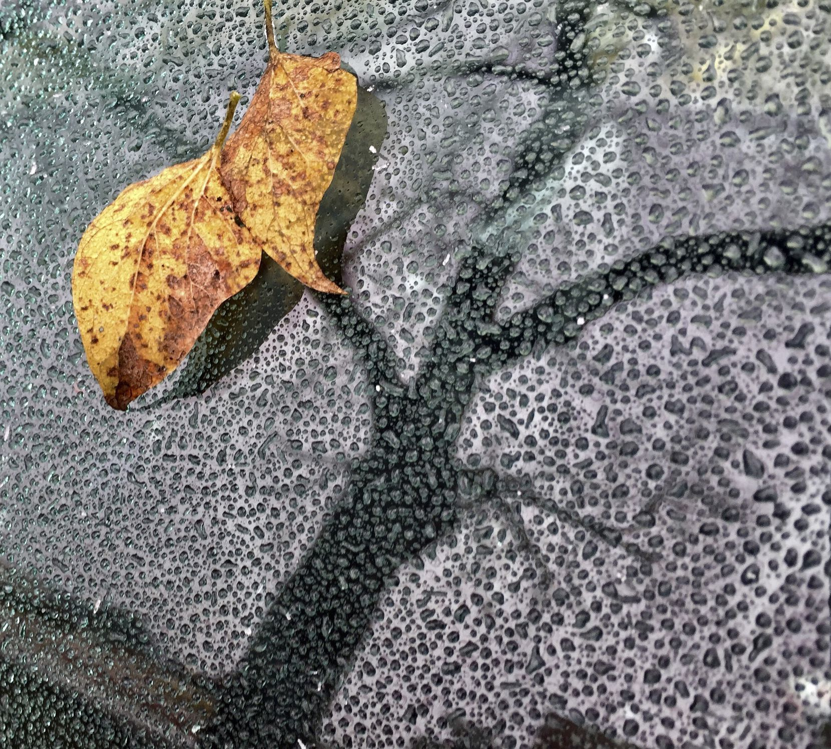A leaf sticks to frozen water droplets on Sunday afternoon in Dallas.
