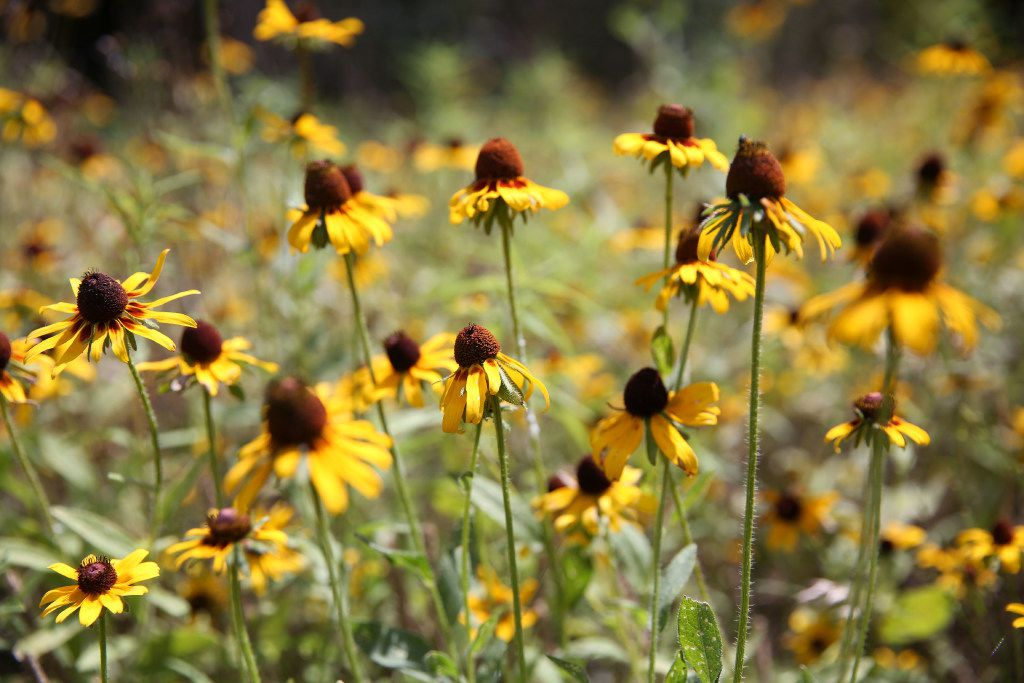 A small field of blackeyed susans at Savannah's Meadow