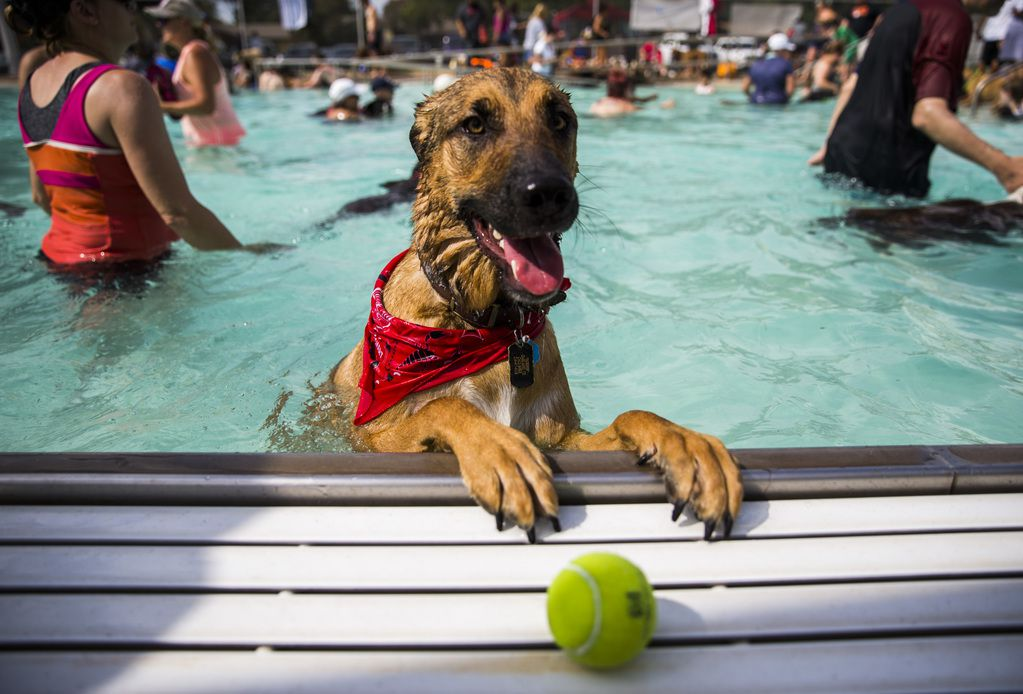Hobbs looks for his tennis ball during the Dog-A-Poolooza pool party in 2018 at Holford Pool in Garland.