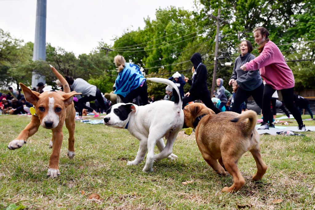 Puppies from Operation Kindness play as people participate in Puppy Yoga near the Northaven Trail in Dallas, Saturday morning, April 14, 2018. The yoga was conducted by CorePower Yoga and a portion of the proceeds benefited the Dallas based non-profit Artists for Animals. Puppies were provided by Operation Kindness.