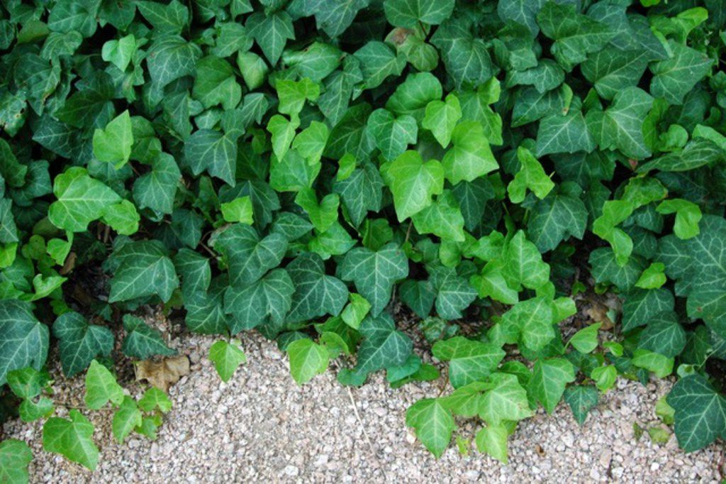 English ivy is an often used evergreen ground cover.