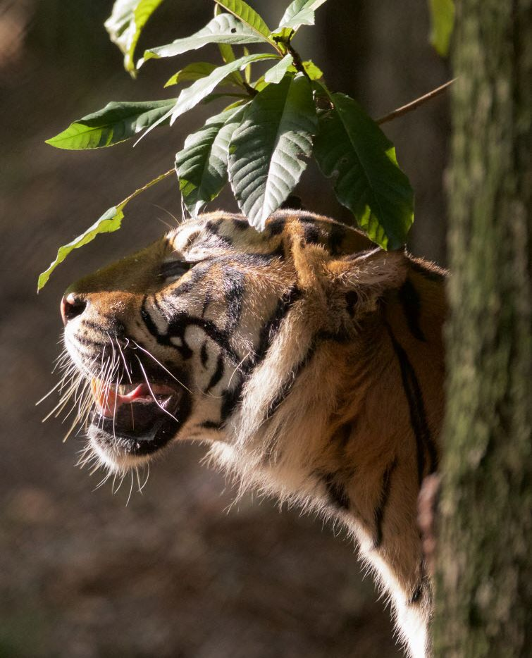 Kipling, a 9-year-old Sumatran Tiger, in his habitat at the Dallas Zoo, Monday, August 29, 2016. (Brandon Wade/Special Contributor