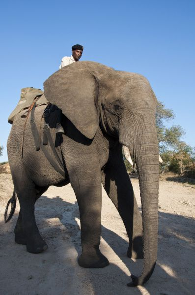 The namesake of the Jabulani herd, 16-year old Jabulani was orphaned at 4 months and hand-reared by Lente Roode and her HESC team.