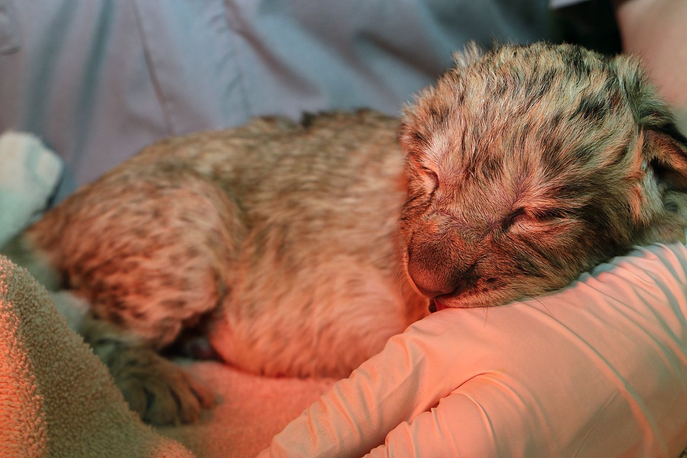 Lion cub Bahati Moja was born March 17 at the Dallas Zoo. She weighed at 2.8 pounds at birth.