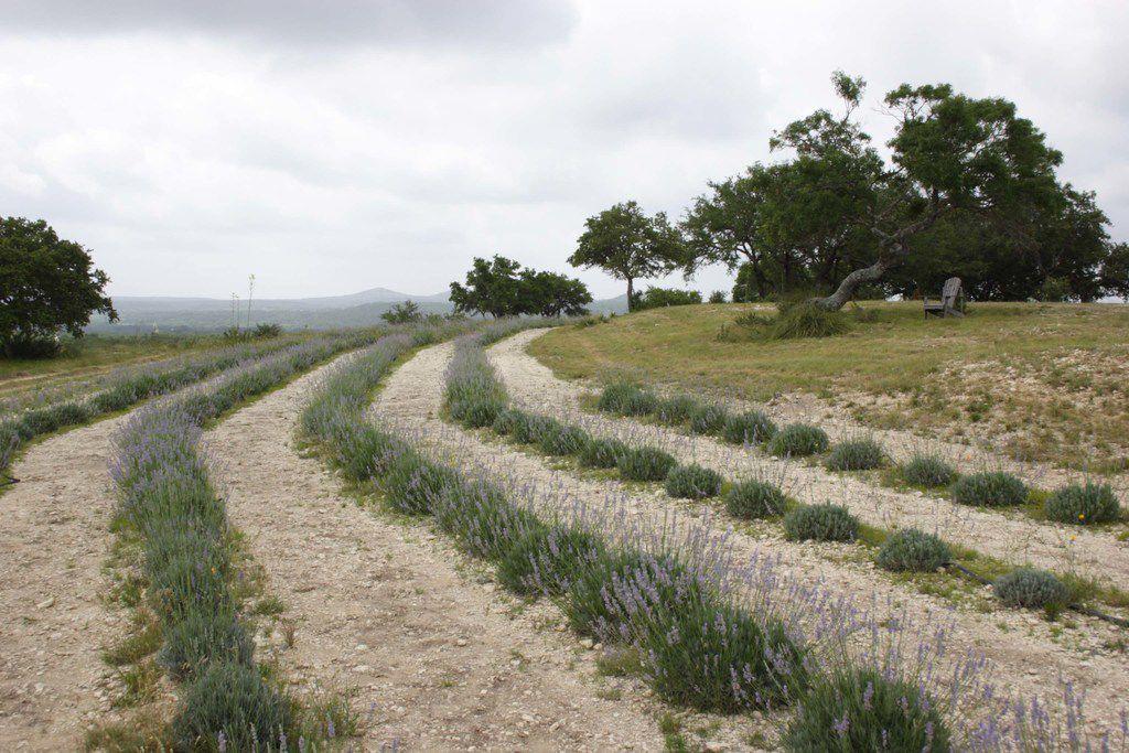 Lavender fields at Texas Lavender Hills, Blanco, Texas