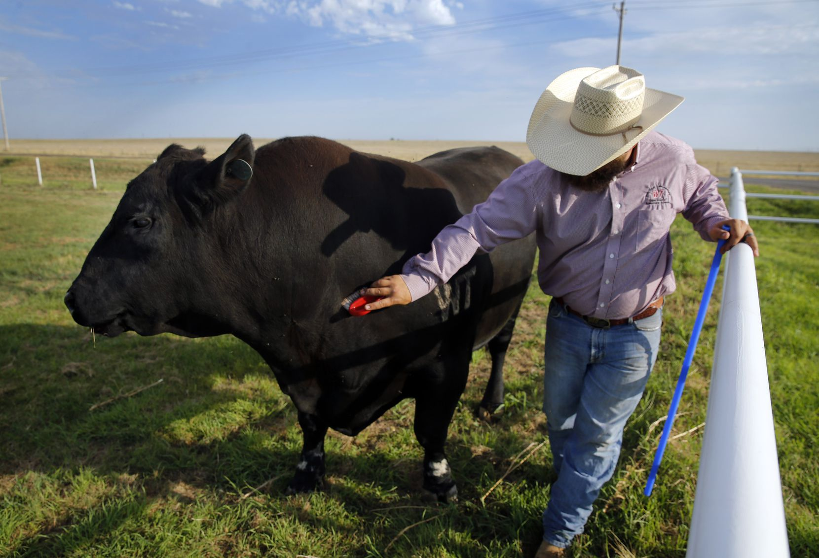 Ranch manager Landon Canterbury brushes Alpha, a 2 1/2-ton cloned bull, at the West Texas A&M University Nance Ranch east of Canyon, Texas, Thursday, June 23, 2016. Canterbury raised Alpha from birth.  The four year old bull was cloned from Prime Yield Grade 1 carcass muscle tissue. (Tom Fox/The Dallas Morning News)