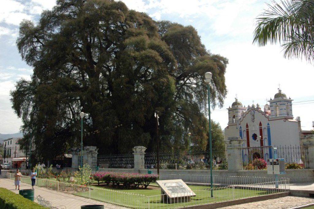 El Arbol del Tule Montezuma cypress tree in Oaxaca, Mexico.