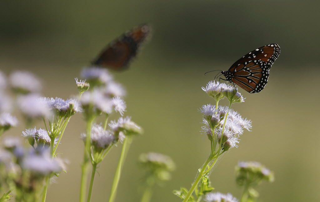 Butterflies rest on Gregg's mistflower at the Lady Bird Johnson Wildflower Center in Austin.