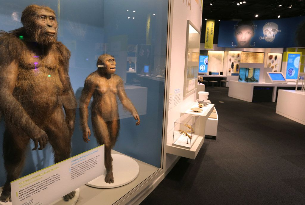A look at some of the displays in the newly revamped Being Human Hall and the Center for the Exploration of the Human Journey at the Perot Museum in Dallas on  May 9, 2018.  (Louis DeLuca/The Dallas Morning News)