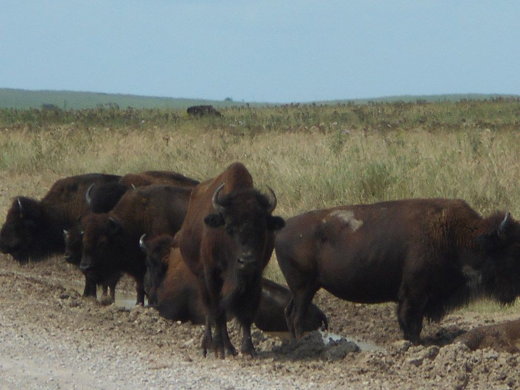 Over 2,500 bison roam free on the Tallgrass Prairie Preserve 15 miles north of Pawhuska, Okla.