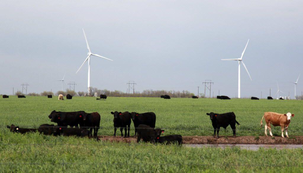 Cattle graze near some of the 90 Clipper Windpower turbines at BP's Trinity Hills Wind Farm near Olney.