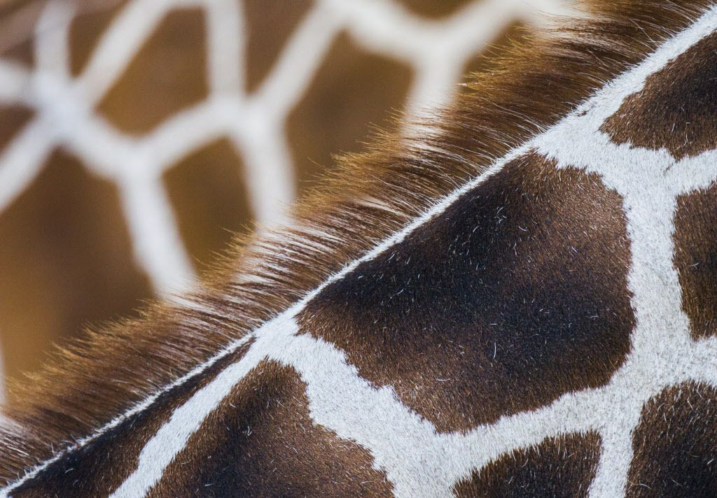 Close-ups of giraffes Tebogo, foreground, and Feral's neck and mane in the giraffe habitat at the Dallas Zoo on Wednesday, July 29, 2015 in Dallas.  Tebogo is the father of baby giraffe, Kipenzi, who died suddenly in an accident inside the giraffe habitat at the zoo. (Ashley Landis/The Dallas Morning News)