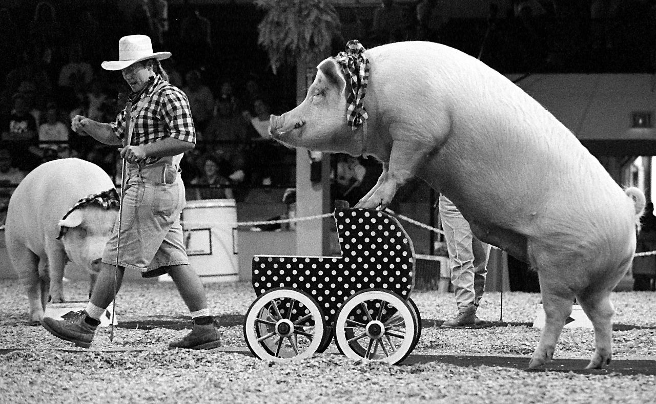 """Led by """"Cuzin Grumpy"""" (really Les Kimes), '""""Oink"""" pushes a baby carriage during an act put on by the  Pork Chop Revue at the State Fair in 1994. The Pork Chop Revue out of  Branson, Mo., was one of the various attractions on the last  day of the State Fair of Texas that Sunday."""