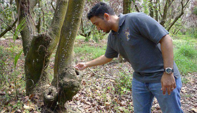 Julián Mendel, estudiante de doctorado de la Universidad Internacional de Florida, observa el daño de escarabajos en un moribundo árbol de aguacate. (AP/TAMARA LUSH)