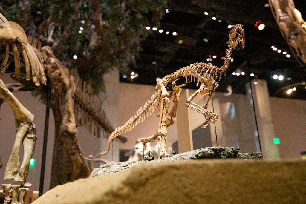 Convolosaurus marri, displayed here at the Perot Museum of Nature and Science, lived about 120 million years ago.